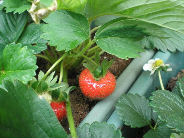 When to plant How To Grow Organic Strawberries