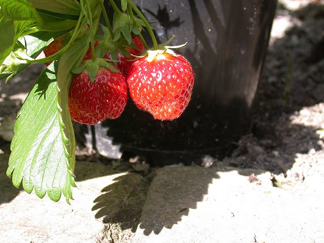 where to plant How To Grow Organic Strawberries