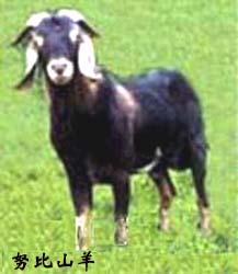 努比山羊图片