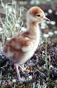 Sandhill crane chick, USFWS photo by Cal Lensink