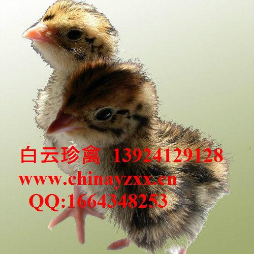 山鸡苗供应,配送全国,山鸡苗市场价格