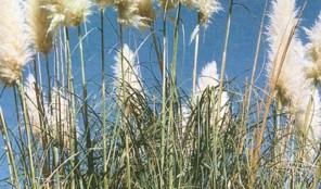 Common pampas grass