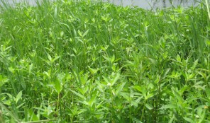 alligator weed infestation