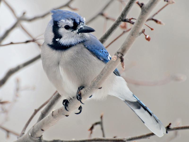 Image: http://www.ourhenhouse.org/wp-content/uploads/2013/03/blue_jay_snowy1.jpg
