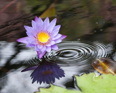 Water lily in a pond - Cakemix25
