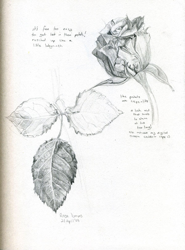 sketch of rose and leaves