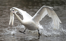 A swan seems to run over the water as a group of swans is brought back from their wintering grounds to the the Inner Alster lake in Hamburg, northern Germany