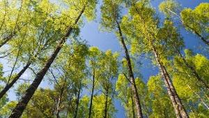 Birken; Pollenflug Birke (Quelle: Thinkstock by Getty-Images)