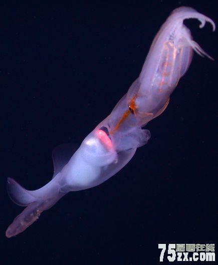 一段新拍摄的关于葛氏双鳍鱿的视频揭示出其捕食猎物的方式