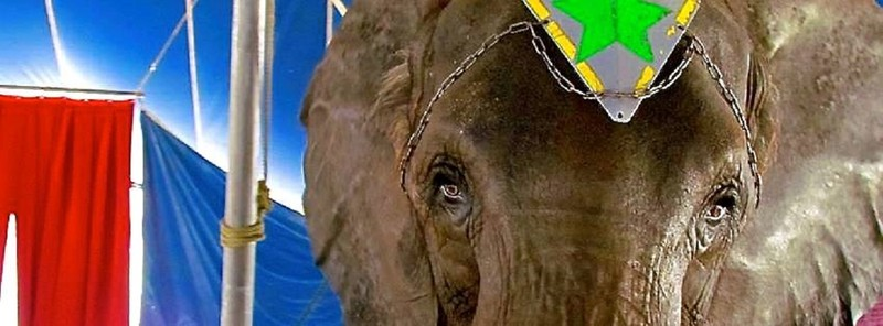 Social media activity for the release of Nosey, the arthritic, elderly elephant, forced to perform in pain, is heating up again