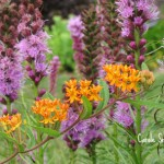Butterfly Weed and Liatris 2