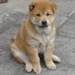中华田园犬