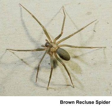 brown recluse spider bite
