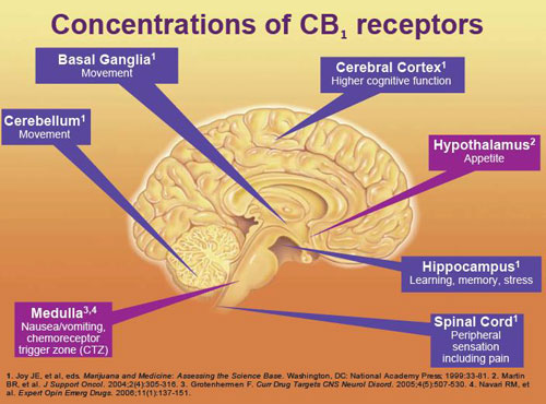 CB1-receptor-distribution-5