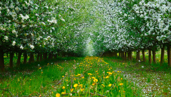 apple trees 600 x 340.jpg
