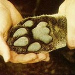 This is the front foot of a 125-pound male cougar. Note the distinct characteristics of the toes and the rear pad.