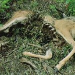 """This is the carcass of a male mule deer that was killed, fed upon and partially covered by a cougar. """"Caching"""" by cougars is a relatively common occurrence with larger prey."""