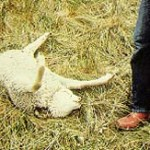 This lamb carcas shows the abnormal position in which it was dropped while being dragged by a cougar.