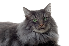 picture of a grey norwegian forest cat