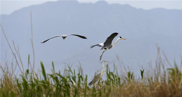 Birds fly above reed marshes in N China