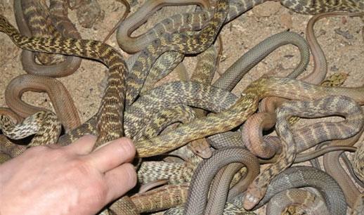 开口的大王蛇幼蛇