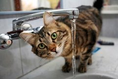 picture of tabby cat drinking from tap
