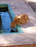 photo of cat drinking from pool