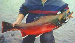 Red Arctic Char