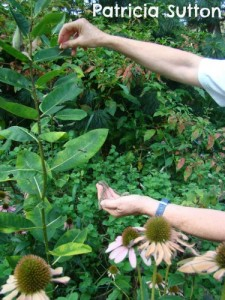 Moving Monarch caterpillars from stripped Tropical Milkweed to Common Milkweed