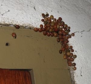 Asian lady beetle invasion in winter