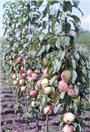 Колонновидная яблоня Валюта