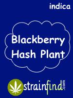Blackberry Hash Plant