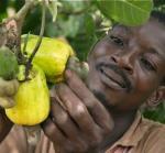A Ghanaian farmer examines cashew fruit