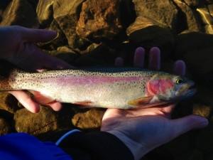 Merrill Creek Rainbow Trout