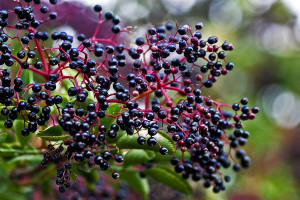 elderberries_l