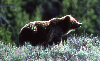 Grizzly Bear with Big Hump - Lower Rump