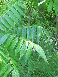 Poison Sumac with Long Leaves