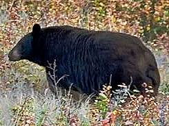 Black Bear with No Hump - Big Rump