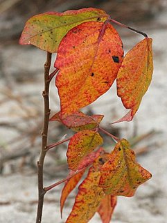 Poison Ivy Plant in Fall