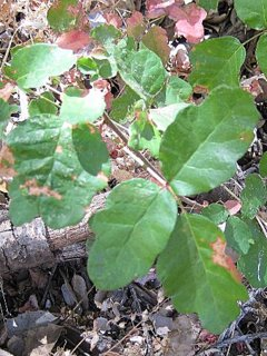 Poison Oak on Ground Changing Color