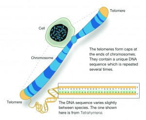 Pic: http://www.hudsonalpha.org/sites/default/files/telomere_fig_one.jpg