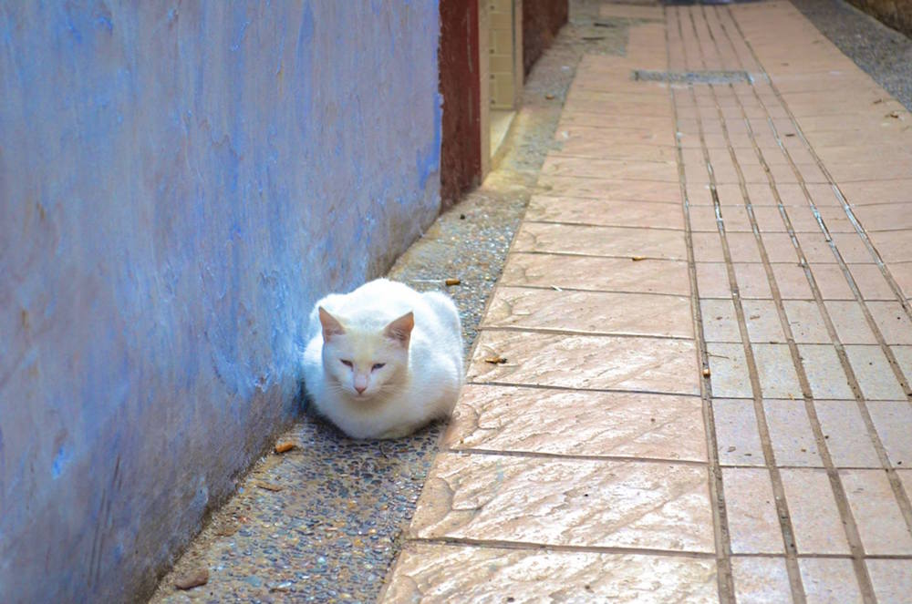 Moroccan Cat in Rabat