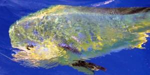 under water dodo 600 x 300