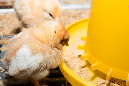 futterautomat für hühner