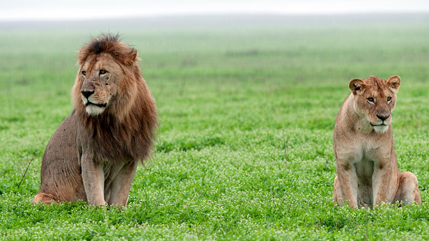 Lion and Lionesse