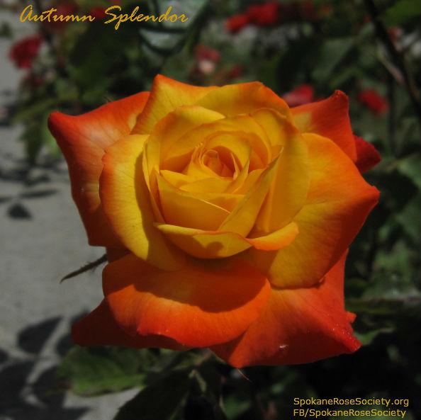 Autumn Spleldor Mini Rose