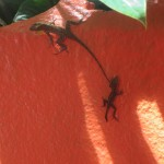 I can't be in the Caribbean without taking pictures of lizards!