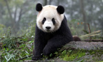 Best Viewing Hours4:00pm - 12:00am PT / 8:00am - 4:00pm CT Learn More & Get Involved· Wolong National Nature Reserve · Volunteer Opportunities · Key FactsWelcome to the Gengda Wolong Panda Center! The center is located in the Gengda Xingfu Valley, the heart of the Wolong Nature Reserve and home to wild Giant Pandas. Its mountains serve as a beautiful backdrop for the reserve.The panda you are watching is in the Gengda Valley yard, named in honor of the historic Wolong Center. The original Wolong Center was destroyed in an earthquake on May 12, 2008. Years of preparation ensure that every new habitat in the reserve provides a healthy, natural environment for the pandas. Reforestation and bamboo planting have been successful and will continue in the future.Our partners at Pandas International will stop by to answer questions, so please post them in the comments section.