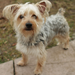 Yorkshire Terrier Mix