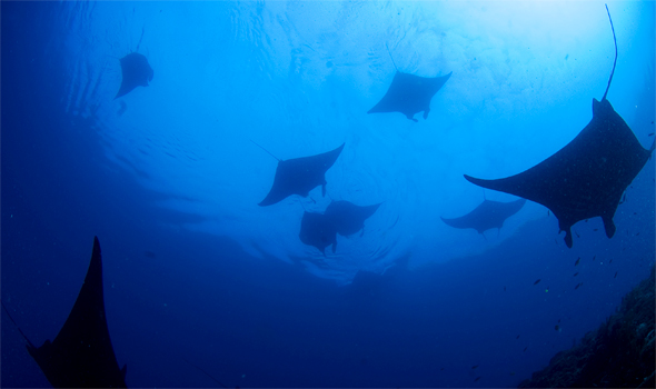 A group of Manta Rays passing by.